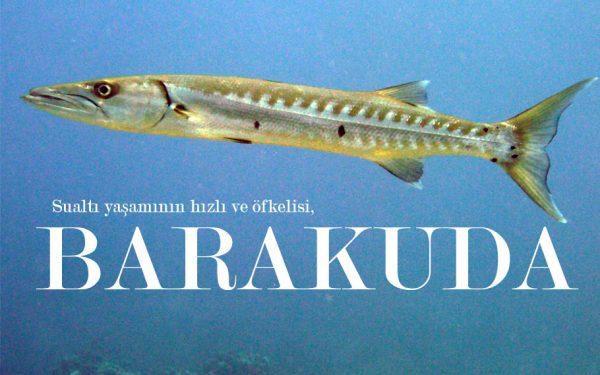 BARAKUDA (Sphyraena)